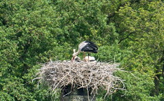 stork and 2 youngsters (a.limbeek) Tags: