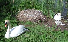 Airthrey Campus (23) (lairig4) Tags: scotland stirling bridgeofallan university campus airthrey cygnets swans loch