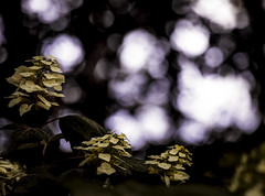 Hystrangea (gotmyxomatosis69) Tags: flowers trees light sunset flower forest bokeh dusk hydrangea hydrangeas