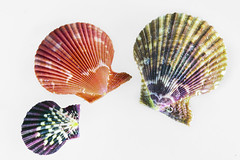Scallops (DigiPub) Tags: closeup cutout collection whitebackground seashell scallop multicolored istock isolated  bivalve   threeobjects animalshell    craftsandhobbies 97201583