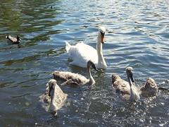 Growing up fast 178/366 260616 (Carmen's Year) Tags: lake swan cygnet pad jun hpad260616
