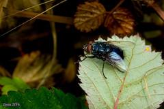 No paraba.... 2 (loriagaon) Tags: espaa plants naturaleza macro nature animals plantas asturias animales mosca bulnes loria loriagaon rx10lll sonyrx10lll sonydscrx10iii