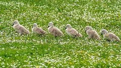 Tra la la, twiddly dee dee......... (klythawk) Tags: nottingham brown green nature grass yellow daisies grey spring babies olympus fawn cygnets omd buttercups em1 40150mm 14xtc colwickpark