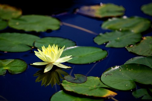 Reflections of a water lily