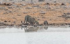 CAC_8734-20150923 (C&P_Pics) Tags: cats na zebra namibia lepard burchellszebra etoshanationalpark oshikoto namutonicamptohalalicamp