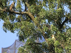 Two tompkins Square fledglings (Goggla) Tags: nyc new york manhattan east village tompkins square park urban wildlife bird raptor red tail hawk fledgling juvenile