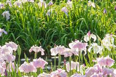 18Yamada Pond Park (anglo10) Tags: flower japan