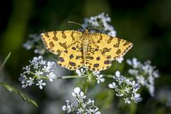 Pantermåler Pseudopanthera macularia (Eivind Nielsen) Tags: macro lepidoptera pseudopantheramacularia pantermåler