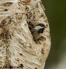 Black-capped Chickadee (orencobirder) Tags: birds flickrexport smallbirds chickadees