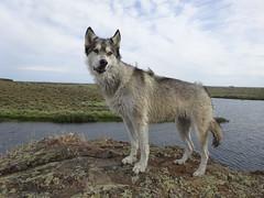 Yutah looking dorky (YutahtheWolamute) Tags: wolfdog wolamute dog malamute dorky wind hiking fun lakes summer rocks yutahthewolfdog lips yutahw