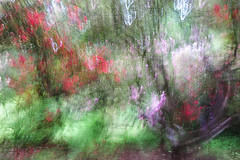 Early Summer Madness (cotswoldman) Tags: trees abstract blur colour art garden landscape artistic arboretum cotswolds gloucestershire westonbirt rhododendron impressionism impression impressionist icm intentionalcameramovement gloucestercameraclub