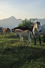 wonderfoul light... (xanto91) Tags: light horses horse mountain colors montagna cavalli cavallo luce pelosi pelo prateria zoccoli criniera witehorse