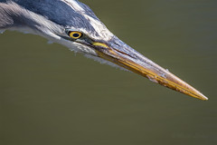 """""""Focus"""" (mLichy911) Tags: seattle blue summer portrait macro green bird heron nature canon concentration focus great stare handheld wa pnw detailed 500f4 7dmarkii"""