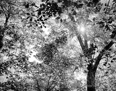 Sunshine in the Forest (Mark Cassino) Tags: trees bw sunshine agfaapx100 pentax6x7 takumar105mmf24