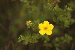Little yellow one (pawianxc) Tags: plant flower macro green yellow makro zielony kwiatek kwiat ty krzew