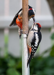 Great Spotted Woodpecker (Antti Tassberg) Tags: bird nature major woodpecker bokeh great chick spotted dart tikka luonto lintu kpytikka dendrocopos linnunpoikanen