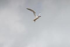 67Jovi-20160626-0009.jpg (67JOVI) Tags: valencia aves albufera volando racodelolla charranpatinegro