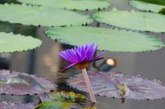 Longwood Gardens -26 (Webtraverser) Tags: gardens waterlily waterlilies longwoodgardens magichour sunsetting d7000