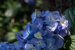 2016 Hydrangea #11 (Yorkey&Rin) Tags: macro june japan tokyo shrine bokeh ngc olympus npc hydrangea bunkyo rin 2016   em5  hakusanshrine leicadgmacroelmarit45f28 t6181022
