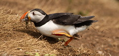 No time to lose - sandeels coming through (Sue Wolfe) Tags: ocean sea nature birds wales landscapes wildlife birding cymru cliffs puffins pembrokeshire birdwatching seabirds skomerisland skomer wildlifetrustofsouthandwestwales welshwildlifebreaks pembrokeshireislands