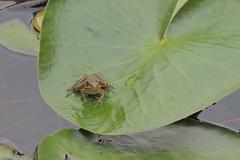 Cricket Frog (dbifulco) Tags: newjersey amphibian frog cricketfrog nkion kittatinnyvalleystatepark kvsp