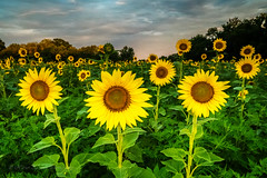 Sunflowers (Xavier Ascanio) Tags: flowers summer nature weather clouds outdoors md seasons maryland sunflowers mckeebeshers