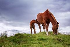 Wild Horses (saeah_lee) Tags: ireland horses nature animal animals outside outdoor bantry wildhorses foal westcork babyanimal canon24105mm sheepsheadway