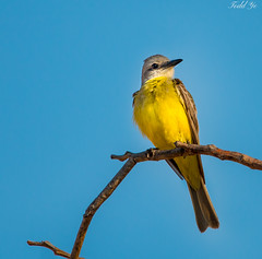 Couch's Kingbird (T.ye) Tags: couchs kingbird mexico bird animal yellow outside ourdoor contrast