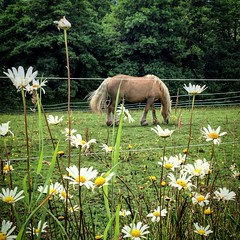 Stedham (Flamenco Sun) Tags: summer rural sussex daisy pony horse
