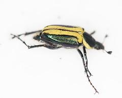 Macrodactylus sp.2014-10-20CSNGA_2763 c (mcclarinj) Tags: ecuador jim napo scarabaeidae mcclarin macrodactylus cosanga