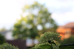 Late in the afternoon one sunny day (MomOfJasAndTam) Tags: lighting trees light sunset summer house flower tree bush blossom bokeh hydrangea blossoming bushes atreewithholes