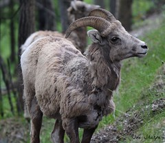 Big Horn Sheep (female) (Sue D Sharpe) Tags: sheep mountainsheep female banff banffnationalpark alberta canada bighornedsheep