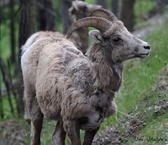 Big Horn Sheep (female) (Sue D Sharpe) Tags: sheep mountainsheep female banff banffnationalpark alberta canada bighornedsheep