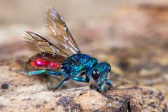 Ruby-tailed wasp (Chrysis sp.) (Ian Redding) Tags: uk blue red nature fauna wings european wasp bright metallic wildlife preening cleaning british coloured jewel parasitic hymenoptera chrysis cuckoowasp parasitoid chrysididae rubytailedwasp emeraldwasp