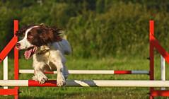 High Hurdles (MWBee) Tags: dog warrington nikon cheshire moore d750 springerspaniel hurdles agilitydemonstration mwbee moorecameracub