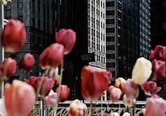 Civic Opera House - Chicago IL (Meridith112) Tags: flowers red chicago black flower building architecture spring nikon tulips loop may tulip l chicagoriver operahouse juxtaposition wacker cookcounty redtulips lyricopera 2016 pinktulip civicoperahouse thekingandi nikon2485 northwacker nikond610