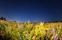 The North Star and the Wildflowers (Radical Retinoscopy) Tags: nightphotography lightpainting field pa astrophotography lancaster astronomy wildflowers nightsky stacking lancastercounty wildflower fireflies canon815mm starstax canont6s