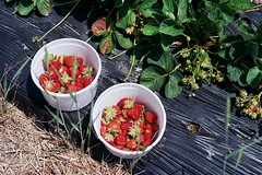 buckets of berries (kstetner) Tags: old blue ohio summer chimney sky flower building dusty june fruit forest vintage butterfly cicada wagon flying wire strawberry long candle berries shadows floor path bricks wave books case meat trail type fields medina writer buckets antiques rib patch root hiding outlet picking cookoff berea