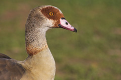 Egyptian goose (Arranion) Tags: bird eye nature water colors animal animals canon eos geese duck wings colours outdoor rustic feather 300mm egyptian ef 40d