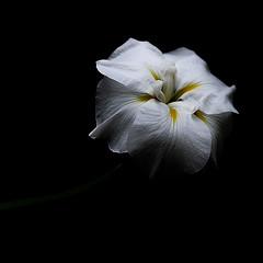 Restrained (N Medd) Tags: summer white plant black flower contrast petals spring blossom bloom