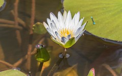 PGC_8553-20151013 (C&P_Pics) Tags: flowers plants southafrica dragonfly cd places lodge za scenes limpopo pgc insectsandspiders tzaneen southafrica2015 bramasolelodge mtsheiba