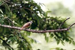 Social Flycatcher (Mario Arana G) Tags: 7d ave bird cr canon costarica florayfauna guanacaste marioarana mosquiterocejiblanco naturephotography socialflycatcher wildlife