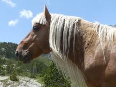 P1000231 (Franois Magne) Tags: cheval libert poulain jument blond blonde bai frange montagne etang lanoux estany de lanos lac pyrnes