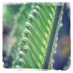 { Susie's Dream } (Web-Betty) Tags: plant fern green nature flora symmetry susie curl dreamcanvas hipstamatic jollyrainbo2x