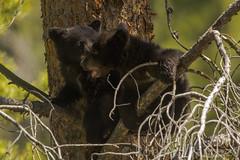 Tree top tussle (ChicagoBob46) Tags: blackbear bear cub cubs coy cuboftheyear yellowstone yellowstonenationalpark nature wildlife