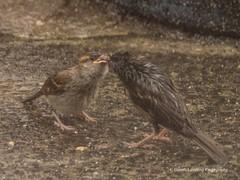 Feeding time in the Wind & Rain9 (Gareth Lovering Photography 3,000,594 views.) Tags: birds garden feeding wildlife feeder starling olympus sparrow 75300mm lovering em1 garethloveringphotography