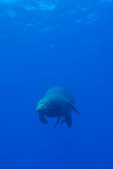 monkseal1Jun22-16 (divindk) Tags: hawaii hawaiianislands kauai lehuacrater neomonachusschauinslandi niihau underwater blueocean cute diverdoug endangeredspecies hawaiianmonkseal lazy marine marinemammal monkseal ocean sea seal underwaterphotography whiskers