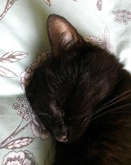 Look ear I know it is missing! (mootzie) Tags: whiskers earmissingcatpetblackmarleynappingbed
