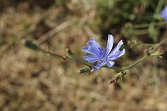 DSC01502 (Photos at SFEI) Tags: california flower delta kr riparian northdelta landscapeorientation deltacrosschannel