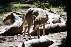 What's up? (gernot.glaeser) Tags: nature animals flickr naturallight wolves hardlight